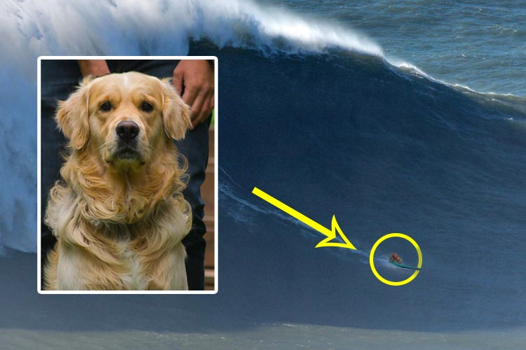 Angus: the first dog to surf big waves in Nazare
