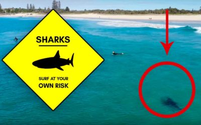 Great white shark is captured circling around surfers in California